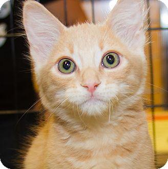 Domestic Shorthair Kitten for adoption in Irvine, California - Hank