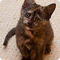Adopt A Pet :: Roo - Reston, VA
