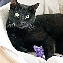 Photo 1 - Domestic Shorthair Cat for adoption in Carencro, Louisiana - Jack Black