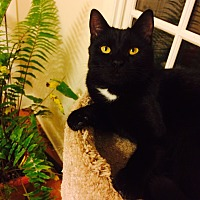 Domestic Shorthair Cat for adoption in Chattanooga, Tennessee - Stella