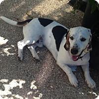 Adopt A Pet :: Toby - White Settlement, TX
