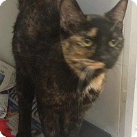 Domestic Shorthair Cat for adoption in Colfax, Illinois - Evangelina