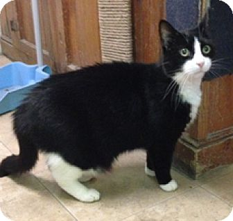 Domestic Longhair Cat for adoption in Milton, Massachusetts - Nemo