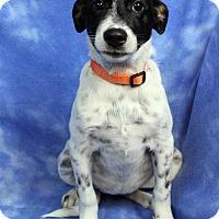 Adopt A Pet :: LORETTA - Westminster, CO