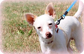 Chihuahua/Terrier (Unknown Type, Small) Mix Dog for adoption in Glastonbury, Connecticut - Tater~ meet me!