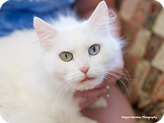 Domestic Longhair Cat for adoption in Hamburg, Pennsylvania - Love Dove