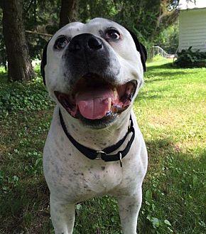 American Bulldog Mix Dog for adoption in kennebunkport, Maine - Jack - Courtesy Post