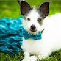 Fox Terrier (Wirehaired)/Jack Russell Terrier Mix Dog for adoption in Freeport, New York - Petey