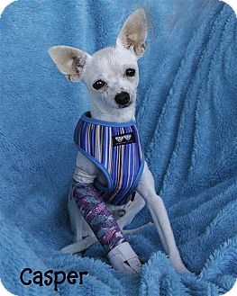 Chihuahua Puppy for adoption in Vista, California - Casper