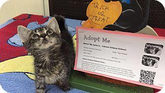 Domestic Shorthair Kitten for adoption in Mine Hill, New Jersey - Merlot
