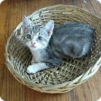 American Shorthair Kitten for adoption in Texarkana, Arkansas - Dooby