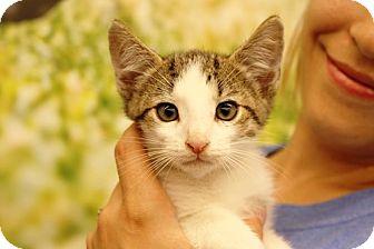 Domestic Shorthair Kitten for adoption in Baytown, Texas - Albus