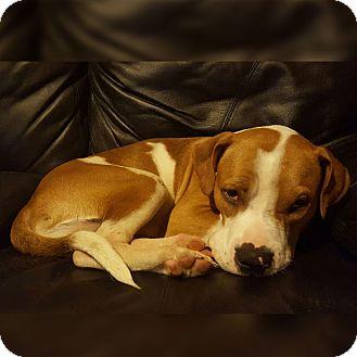 Boxer/American Bulldog Mix Dog for adoption in Zephyrhills, Florida - Samson