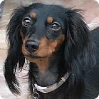 Adopt A Pet :: Minnie Menudo - Houston, TX