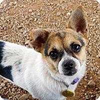 Adopt A Pet :: Princess Leia - Spartanburg, SC