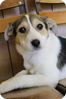 Beagle/Labrador Retriever Mix Puppy for adoption in Hagerstown, Maryland - Molly