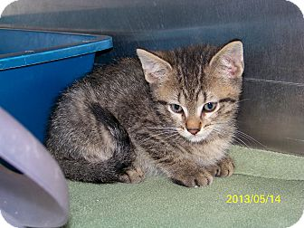 Domestic Shorthair Kitten for adoption in Dover, Ohio - Frazier
