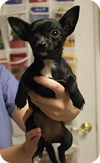 Chihuahua Mix Puppy for adoption in Seneca, South Carolina - Brittany $275