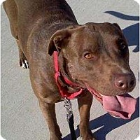 Labrador Retriever/American Pit Bull Terrier Mix Dog for adoption in Gilbert, Arizona - CLARENCE