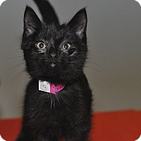 Adopt A Pet :: Nibbles - Medina, OH