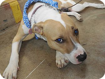Pit Bull Terrier Mix Dog for adoption in Whiting, Indiana - Sydney