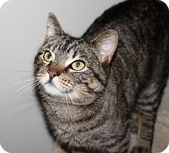 Domestic Shorthair Cat for adoption in Nolensville, Tennessee - Millie