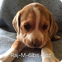 Adopt A Pet :: Raj - Albany, NY