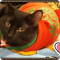 Domestic Shorthair Cat for adoption in Davison, Michigan - Snow