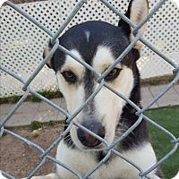 Adopt A Pet :: Jojo - san antonio, TX