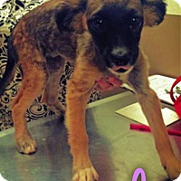 Adopt A Pet :: Rhonda - Garden City, MI