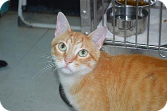 Domestic Shorthair Cat for adoption in Monroe, Michigan - Garfield