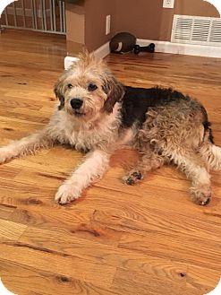 Wheaten Terrier Mix Dog for adoption in Newport, Kentucky - Elvis