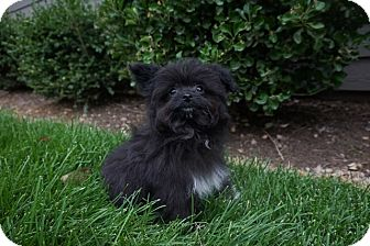 Pomeranian/Poodle (Toy or Tea Cup) Mix Puppy for adoption in Sandy, Utah - Batman