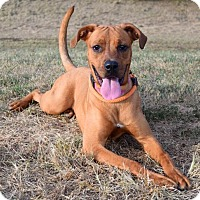 Boxer/Rottweiler Mix Dog for adoption in Westampton, New Jersey - Abby 33369263