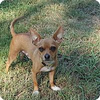Adopt A Pet :: Ernie - Albany, NY