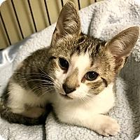 Domestic Shorthair Kitten for adoption in Island Park, New York - Bruno