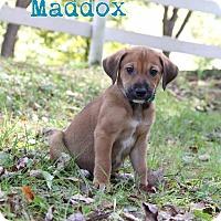 Adopt A Pet :: Maddox - New Oxford, PA