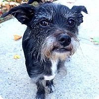 Standard Schnauzer/Chihuahua Mix Dog for adoption in Staten Island, New York - Maizy