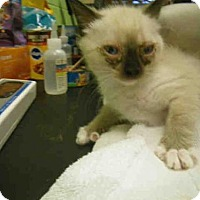 Adopt A Pet :: SCARLETT - Jacksonville, FL