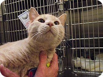 Domestic Shorthair Cat for adoption in Chambersburg, Pennsylvania - Capone