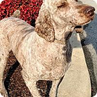 Adopt A Pet :: Cordelia - Newark, DE