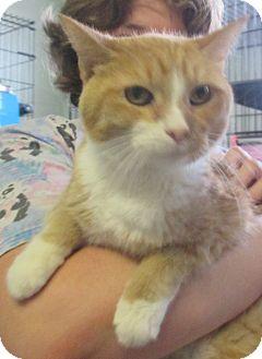 Domestic Shorthair Cat for adoption in Reeds Spring, Missouri - Babylon