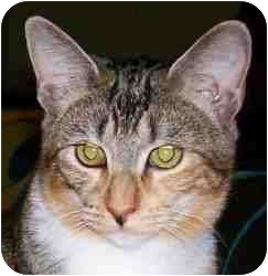 Domestic Shorthair Cat for adoption in Duluth, Georgia - Savannah