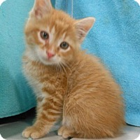 Adopt A Pet :: Tigger - Reston, VA