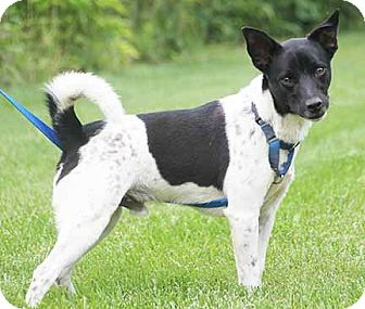 rat terrier australian cattle dog mix south bend in rat terrier australian cattle dog mix 336
