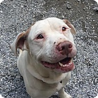 Adopt A Pet :: Yeti - Cashiers, NC