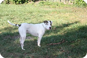Pit Bull Terrier/Jack Russell Terrier Mix Dog for adoption in Garden City, Michigan - Cody