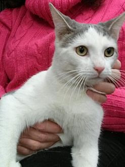 Domestic Shorthair Cat for adoption in Devon, Pennsylvania - LM-Ollie Courtesy Listing