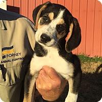 Adopt A Pet :: Duchess - Bedford, TX
