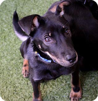 Marina del Rey, CA - Pharaoh Hound Mix. Meet Chico a Puppy ...